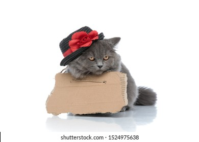 homeless british longhair cat with gray fur,board and hat lying down bored against white studio background