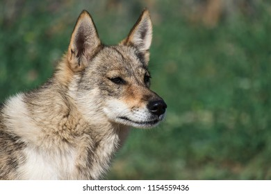 Homeless dog from the genus of wolves
