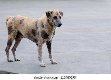 A homeless dog has skin lesions standing in the middle of the street.