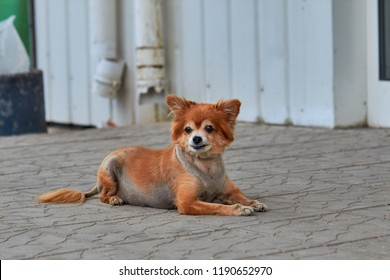 The homeless dog. The dog lies on the ground. Old dog with a sad look. Red-haired dog on the street. The old  doggy lies on the sidewalk. A stray doggie lies on the street. Sad look of a doggie.