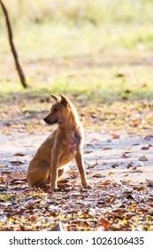 Homeless dogs in Thailsnd