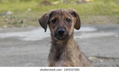 Indian Puppy Images, Stock Photos & Vectors | Shutterstock