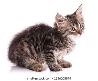 Homeless kitten with tassels on ears. Isolated on a white background.