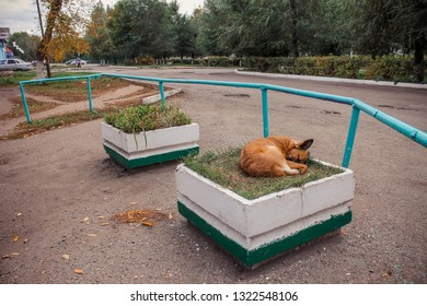 homeless sad red dog sleeping in a bed of flowers on the street, she has no home