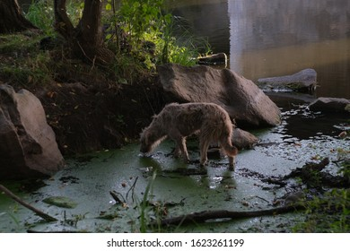 Homeless stray dog abandoned on dirty street. Little poor dog wet dripping in rain and mud. Lonely homeless dog drinks water from the swamp. Destitute sad little dog lost. Adopt animals concept