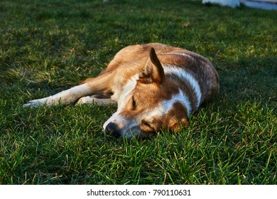 A homeless street dog lies on a green lawn in the city