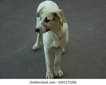 The homeless white dog looks aside