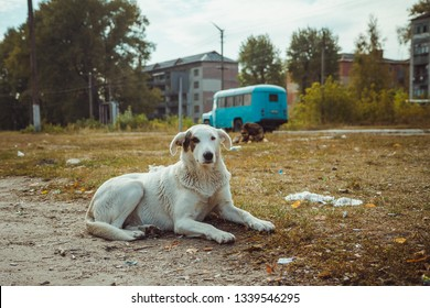 Homeless wild dog in old radioactive zone in Pripyat city - abandoned ghost town after nuclear disaster. Chernobyl exclusion zone.