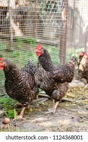 Homemade chickens are walking in the farmyard