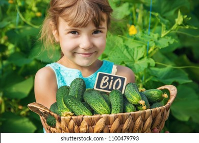 homemade cucumber cultivation and harvest in the hands of a child. selective focus.