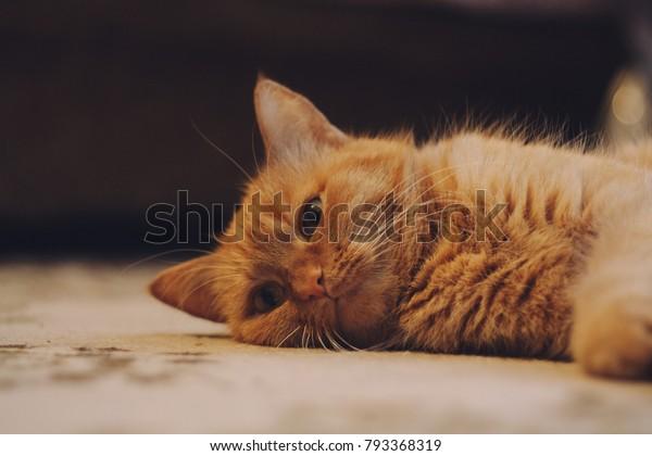 Homemade Ginger Cat Lying On Floor Stock Photo Edit Now