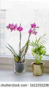 Homeplants Little Palm Tree and Orchid in a glass pot on the he windowsill, frost snowflakes on winter window, city view