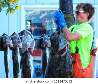 Homer, Alaska- June 10, 2018: Local Fisherman weighs 69 pound Halibut with other smaller halibut hanging behind it. Homer is the self proclaimed halibut capital of the world.