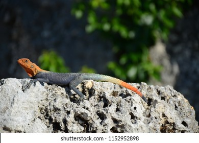 Homestead, FL - May 19, 2018: Lizard at Coral Castle Museum near Miami