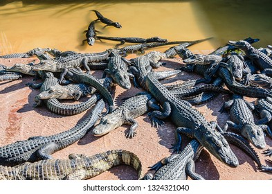 Homestead, FL / USA - 02-14-2015: Group of alligators emerging from pool at Everglades Alligator Farm in Southern Florida.