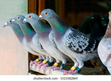 homing pigeon in home loft