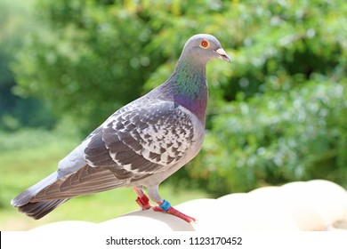 homing pigeon, racing pigeon or domestic pigeon Latin columba livia domestica taking a break from its long flight on typical pantiled roof in spring in Italy tags or rings clearly visible