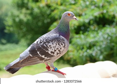 homing pigeon, racing pigeon or domestic pigeon Latin columba livia domestica closeup taking a break from its long flight on a typical pantiled roof in spring in Italy