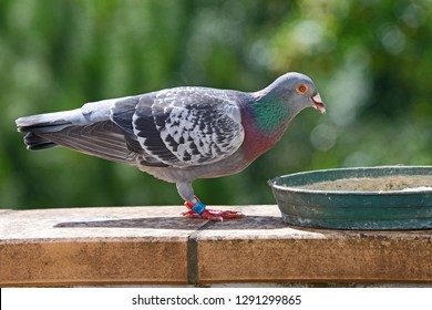 homing pigeon, racing pigeon or domestic messenger pigeon Latin columba livia domestica taking a break from its long flight and feeding on a high balcony wall in spring in Italy tagged feet visible