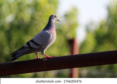 homing pigeon, racing pigeon or domestic messenger pigeon, walking on roof in green blurry background.  Pigeon concept photo. This beautiful picture clicked in Summer, Dehradun, India