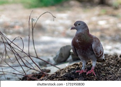 homing pigeon, racing pigeon taking a break from its long flight.