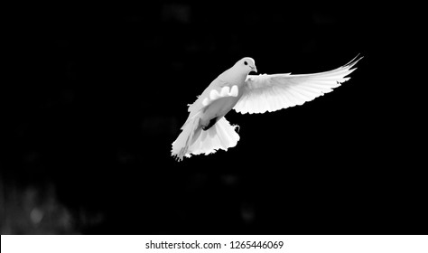 homing pigeon with spread wings isolated on black background. white dove flying on black background freedom concept. peace bird flying freely. mardin pigeon