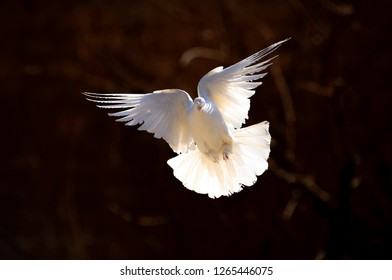 homing pigeon with spread wings isolated on black background. white dove flying on black background freedom concept. peace bird flying freely.