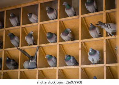 Homing pigeons sitting in a dovecote