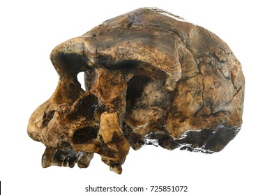 Homo erectus skull ( Oblique view ) . Discovered in 1969 in Sangiran , Java , Indonesia . Dated to 1 million years ago .