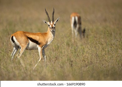 """homson's gazelle (Eudorcas thomsonii) is one of the best-known gazelles. It is named after explorer Joseph Thomson and is sometimes referred to as a """"tommie""""."""