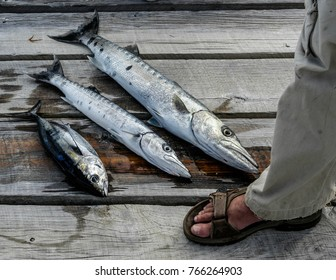A Honduran fishing guide with wahoo on a gray wooden dock.
