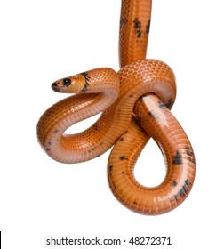 Honduran milk snake, Lampropeltis triangulum hondurensis, hanging in front of white background