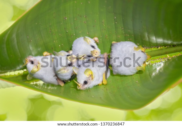 Honduran white bat (Ectophylla alba), also called the Caribbean white tent-making bat, is a species of bat in the family Phyllostomatidae.