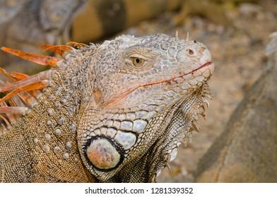 Honduras, Honduran Bay Islands, Roatan, Iguana Farm. Wild Green iguanas (Iguana iguana), large male head detail.