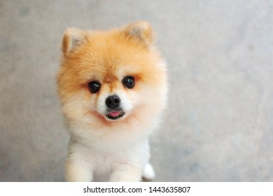 Honestly cute Pomeranian dog, close up fluffy pet stand on cement ground, ability adorable pet friendly, looking at camera, small dog alert, ear up, short hair, isolated
