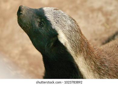Honey baddger head shot close up