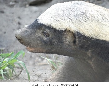 Honey badger, Africa
