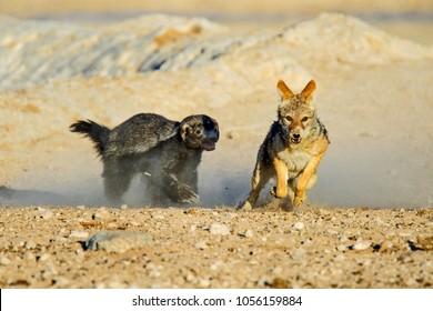 honey badger chasing a black backed jackal in etosha national park, Namibia