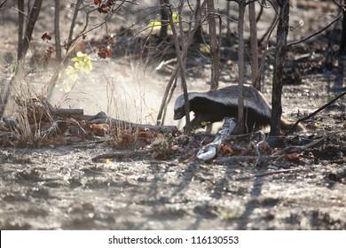 Honey Badger digging in a burnt field