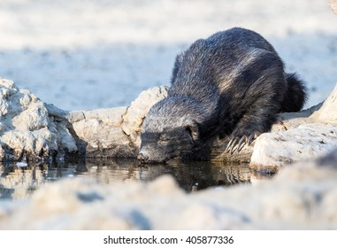 A Honey Badger, eyes closed as it quenches it's thirst in the Kalahari desert, drinking at a rocky watering hole.
