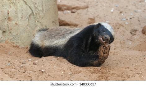 honey badger feeding