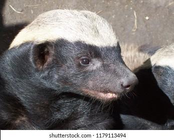 Honey badger head