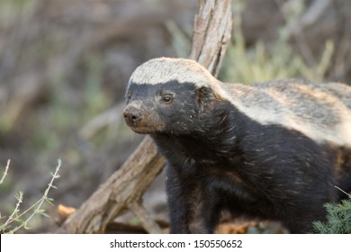 Honey Badger - Kalahari Desert