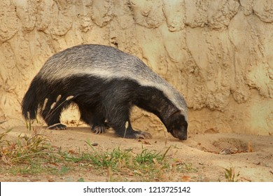 The honey badger, also known as the ratel. It is native to Africa, Southwest Asia, and the Indian subcontinent.