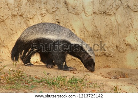 Honey Badger Known Ratel Native Africa Stock Photo Edit Now