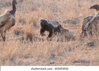 honey badger kruger national park south africa