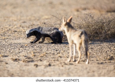 A Honey Badger looking back at a Black-backed Jackal that is following him. The jackal might be a threat as it could steal the badger's food.