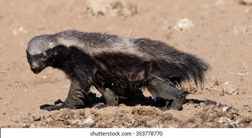Honey Badger (Mellivora capensis) Kgalagadi Transfrontier  Park, South Africa.