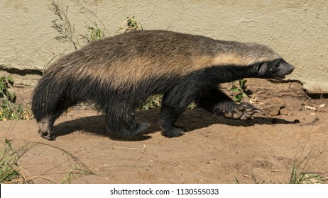 Honey badger on the move in a captive pen in South Africa.