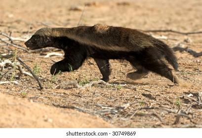 Honey Badger on the run